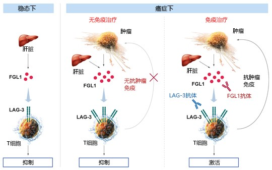 t_cells___lag3___liver___cancer__eb_mit_text_groesser_final.jpg